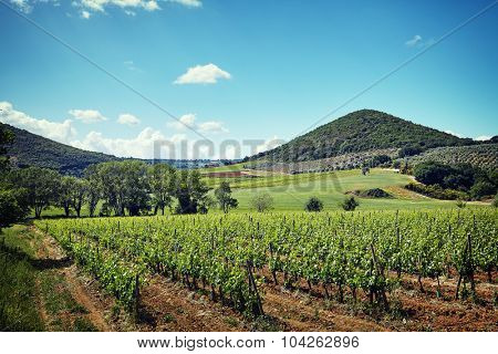 Grapes leaves in a sunny vineyard
