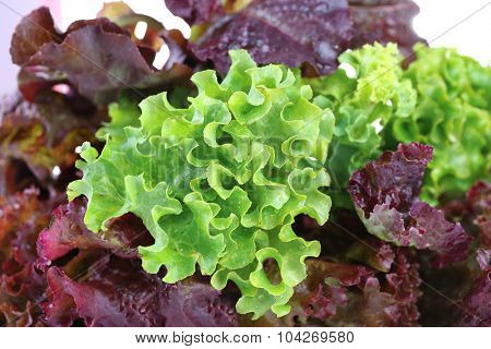 Bunch of lettuce close up