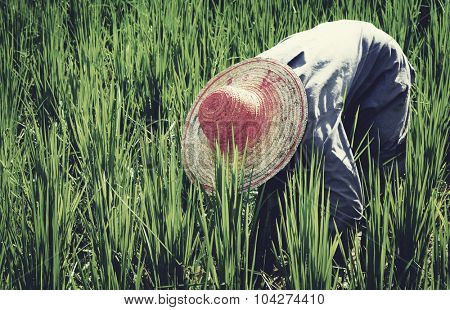 Farmer Harvesting Rice Nature Asian Culture Concept