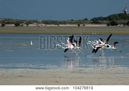 Start Of Greater Flamingo In Al Jazeerah Khor Of Uae
