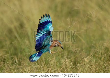 Flying Indian Roller In Fujairah National Dairy Farm In Uae