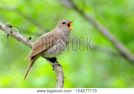 Singing Nightingale Against Green Background