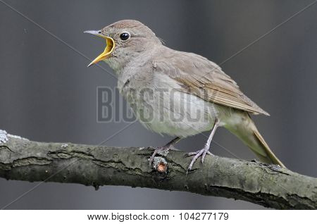 Singing Nightingale Against Grey Background