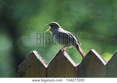Singing Nightingale On The Fence