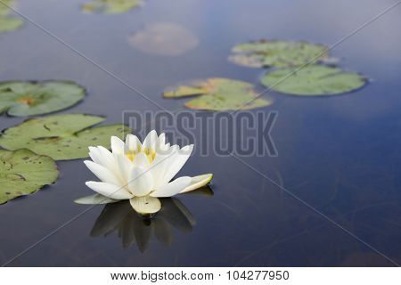 Macro White Nenuphar Floating On A Dark Water