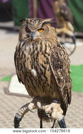 Owl In Balmaseda, Bizkaia, Basque Country, Spain