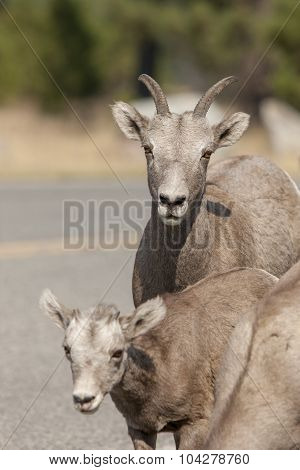 Mother And Baby Bighorn Sheep.