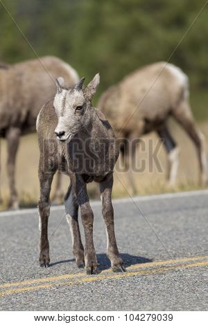 Baby Bighorn In Middle Of The Road.
