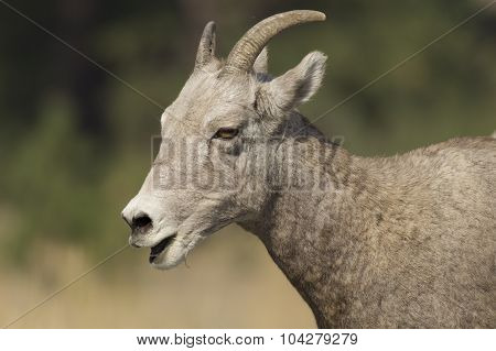 Bighorn Sheep Chewing On Grass.