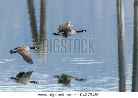 Two Geese Flying Above Water.