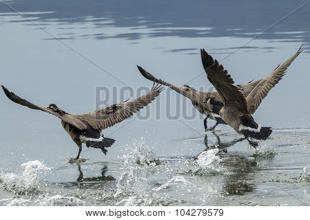 Geese Splashing Water While Taking Off.