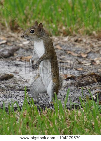 Vertical Squirrel in Profile