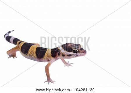 Leopard gecko Eublepharis macularius isolated