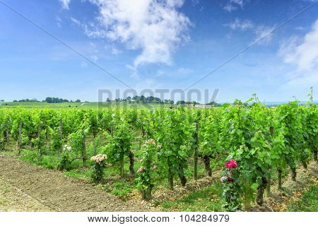 vineyard of immature grapes in a countryside