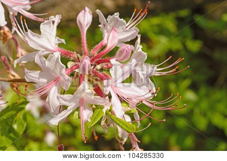 Spider Lilies In The Spring