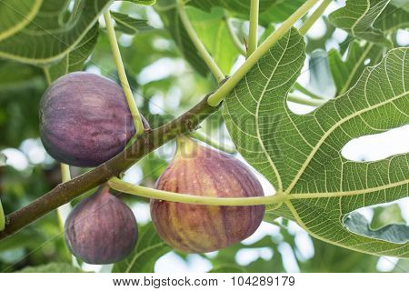 Ripe fig fruits on the tree. Closeup shot.