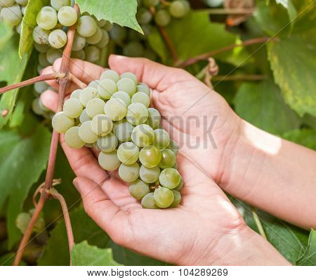 Bunch of white grapes on the vine. Bunches are upheld with woman's hands.