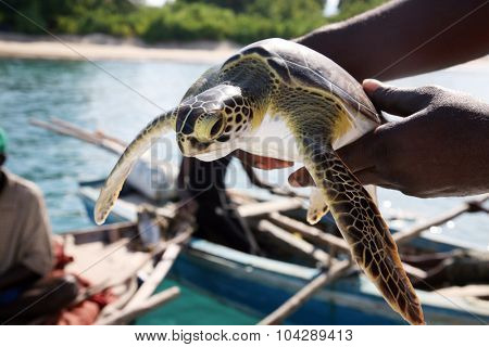An unidentifiable fisherman holds a Green Sea Turtle he has caught in the warm blue waters of Labadee Haiti. Fisherman catch fish and turtles to sell in the market and to feed their families