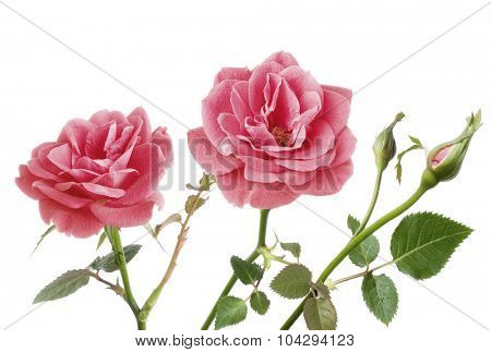 two pink roses isolated on white