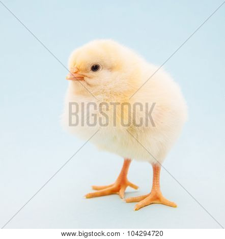 Cute little chick on light blue background