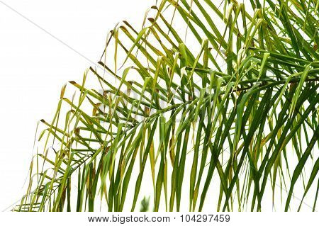 Queen Palm Frond Backgound.
