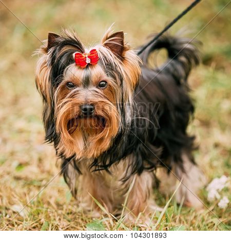 Cute Yorkshire Terrier Small Dog Outdoor