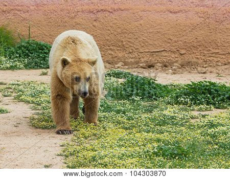 Brown bear (Ursus arctos) in a zoo
