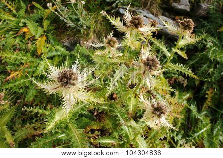 Closeup of Spiniest Thistle (Cirsium spinosissimum) growing in the dry rocky areas at Grossglockner, Hohe Tauern National Park, Austria