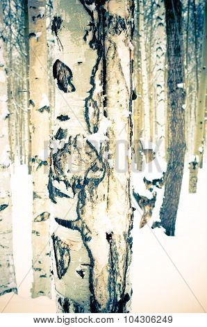 Birch In Winter Snow