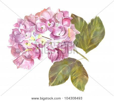 A purple watercolour hortensia branch on white background