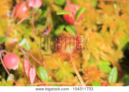 Marsh plant sundew closeup