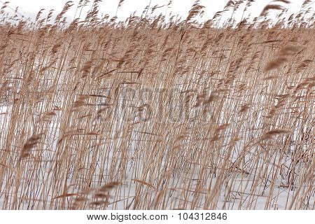 Coastal plant cane Phragmites in the winter