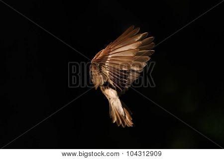 Early Morning Flight Of Female Pied Flycatcher