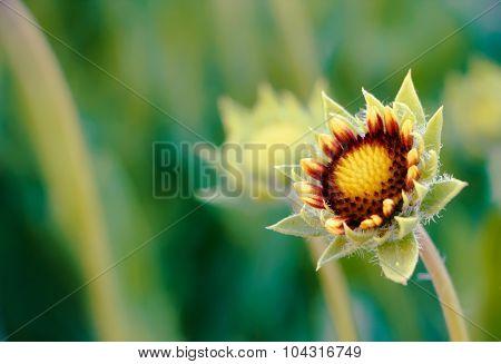 began to produce flower Gaillardia