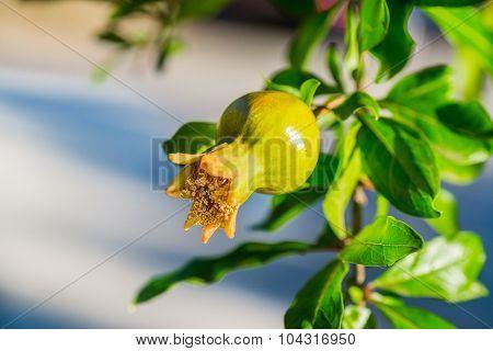 Unripe Pomegranate In A Tree