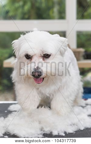 The White Maltese Dog Is Standing In A Pile Of Cut Hair