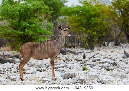 Greater Kudu Female