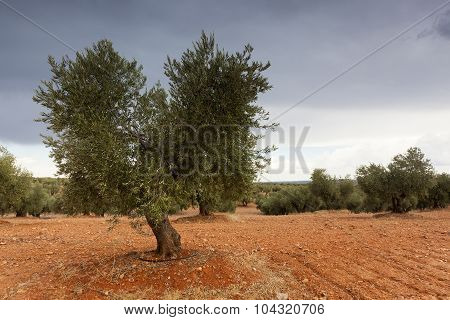 Olive Trees Near Tembleque, Ciudad Real Province, Castilla La Mancha, Spain