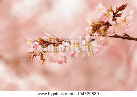 Oriental Cherry Sakura Branches With Pink Flowers  On A Pink Background