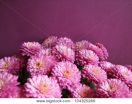 Purple chrysanthemums. Beautiful background of fresh autumnal flowers