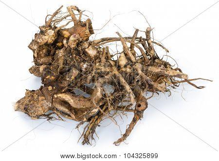 Medicinal plant. The root of elecampane
