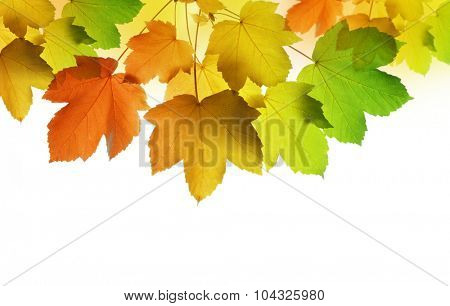 autumn leaves of maple tree on white background