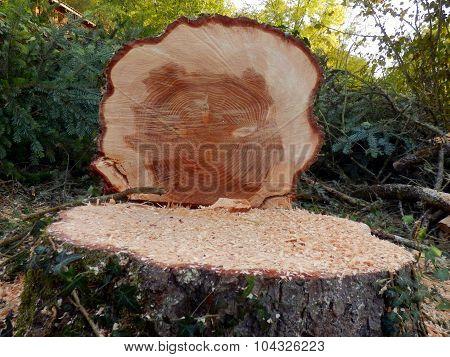 Felled European Spruce Tree