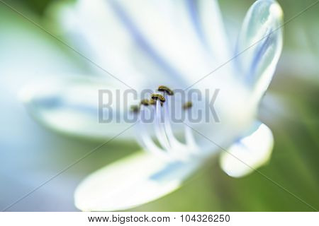 White And Blue Lily With Pistil In Focus