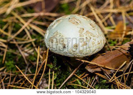 White Amanita muscaria mushroom close-up