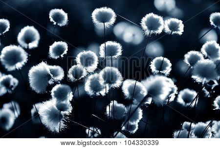 Cotton grass backlit