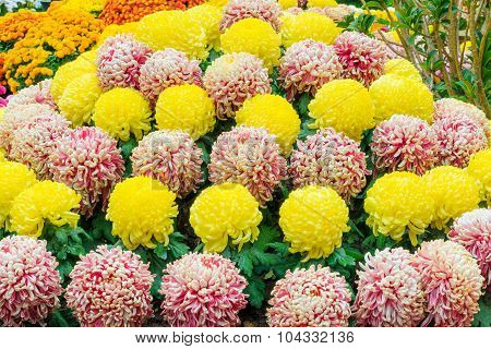 Chrysanthemum Cone
