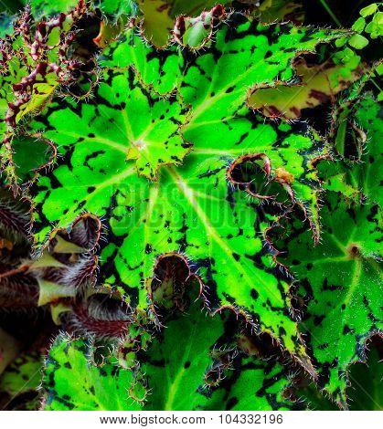 Thorny Leaf