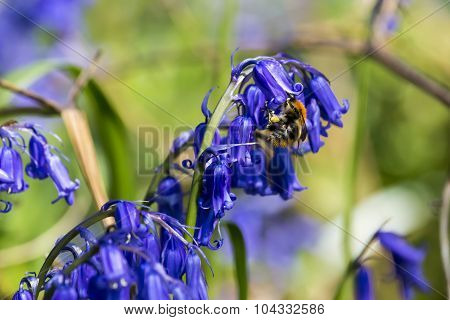 Bee On Bluebell Collecting Pollen.