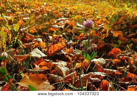 Autumn Sunny Landscape With Pink Flower Of Clover Among The Autumn Fallen Leaves